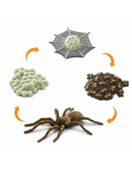 Ciclo de vida araña  Ciclos de la vida