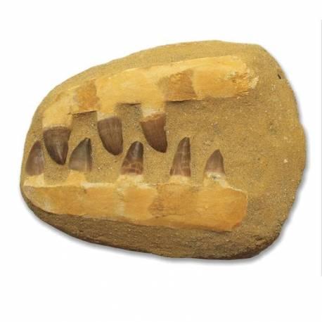 Fósil Mandíbula de Mosasauro  Ciencia y medio ambiente