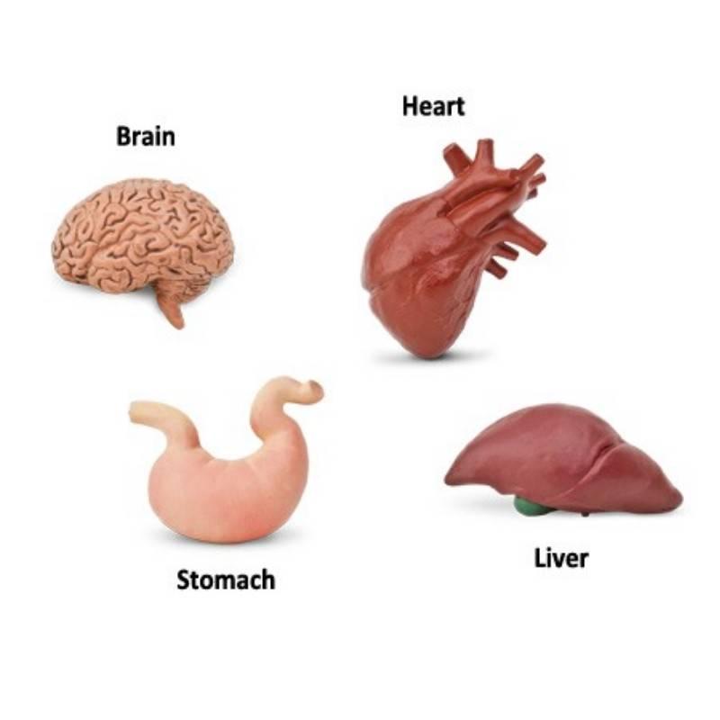 Órganos cuerpo humano - Montessori para todos