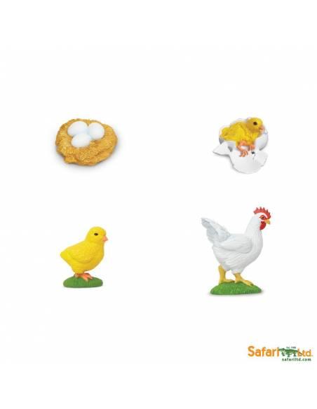 Ciclo de vida de la gallina