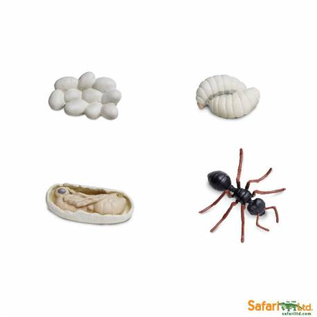 Ciclo de vida de la hormiga  Ciclos de la vida