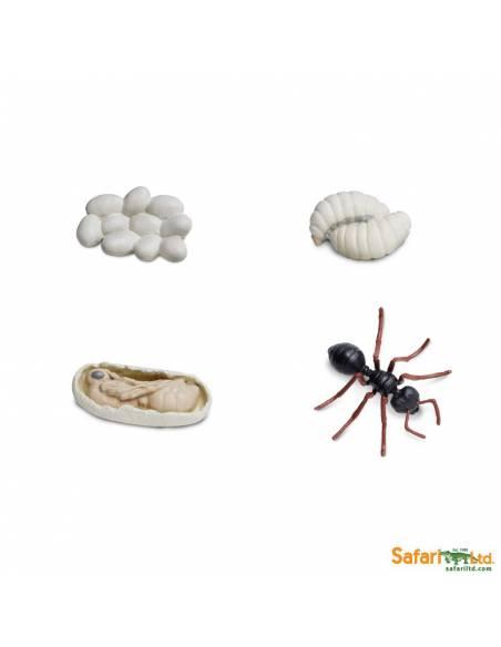 Ciclo de vida de la hormiga