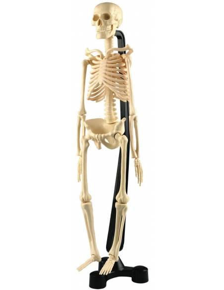 Esqueleto humano (46 cm)  Cuerpo Humano y Alimentación
