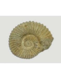 Fósil Ammonites