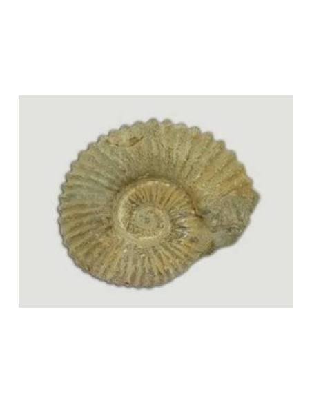 Fósil Ammonites 10-12 CM  Fósiles y minerales